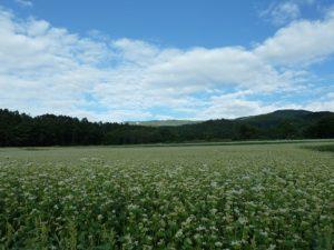 ソバ畑の美しい景観